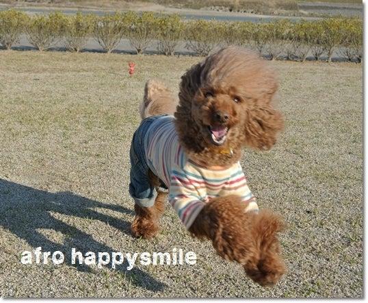 $トイプードル♪アフロのHappy Smile♪