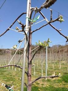 りんごの木の下で-芽吹き2