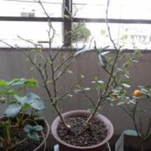 グレープフルーツの植…