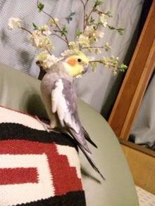 オカメインコのももちゃんと花教室と旅日記-120416_210050.jpg