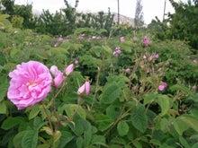 マエダユウコの薔薇水生活