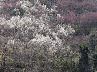 晴れのち曇り時々Ameブロ-花見山の桜
