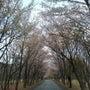 山桜が満開!!!! …