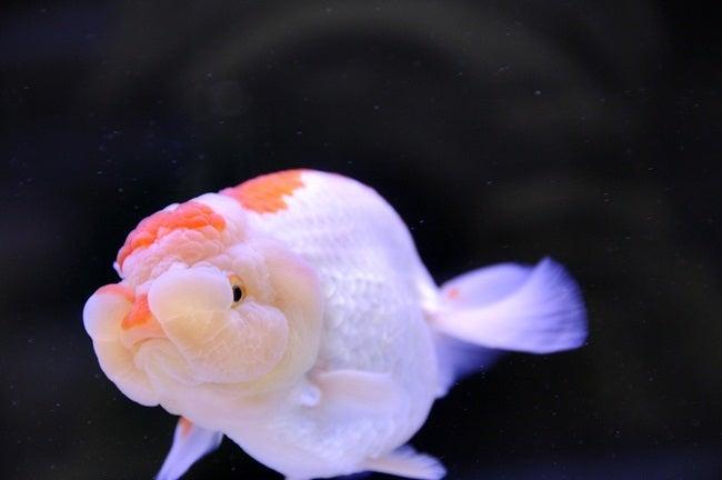 金魚日和 第30回 2012年 日本観賞魚フェア⑤