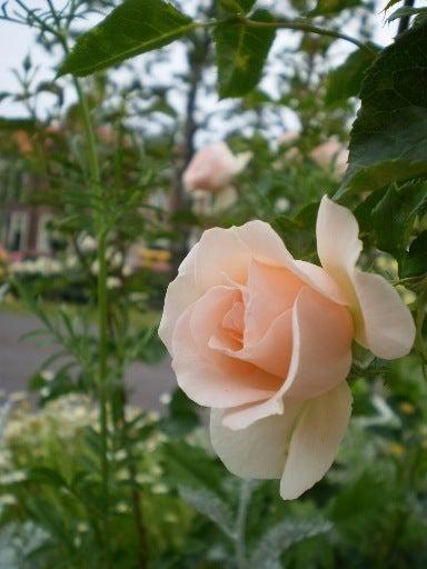 La vie en Rose ・:*:・☆光の学校☆・:*:・