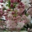 「梅小路公園の桜20…