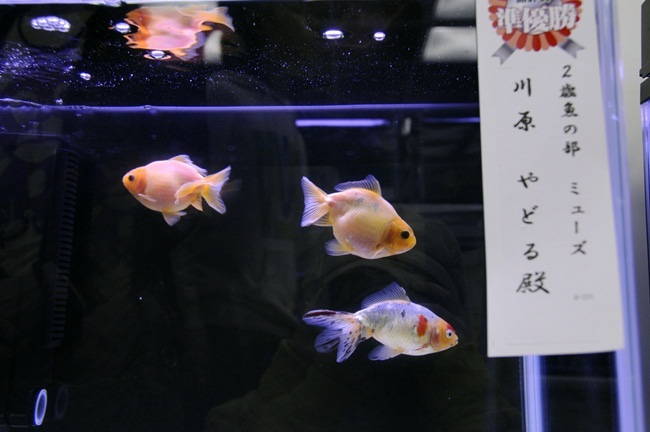 $金魚日和 -ミューズ