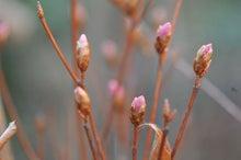 北海道の野生動植物写真-ヤシオツツジ