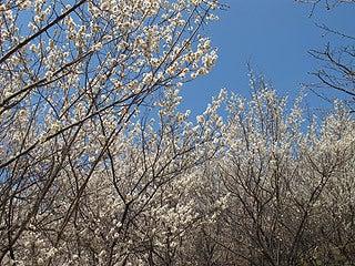 晴れのち曇り時々Ameブロ-満開の白梅