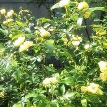sumie-木香薔薇