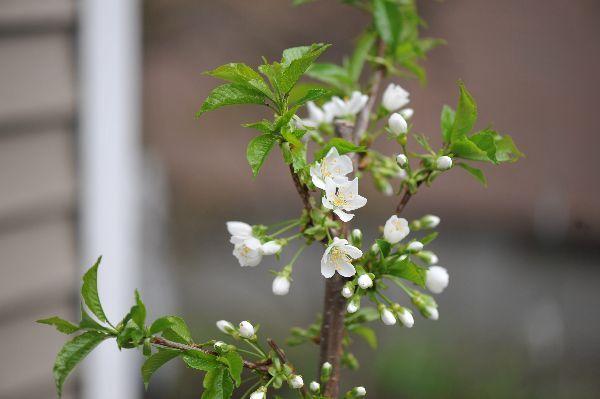 北海道の野生動植物写真-サクランボ