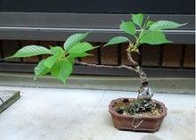盆栽の楽しさを広めたい-20120505-1