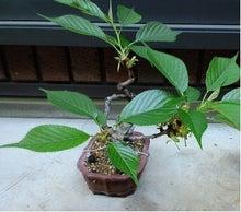 盆栽の楽しさを広めたい-20120505-2