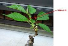 盆栽の楽しさを広めたい-20120505-3