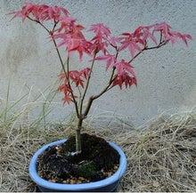 盆栽の楽しさを広めたい-20120508-1