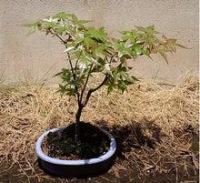 盆栽の楽しさを広めたい-20120508-2