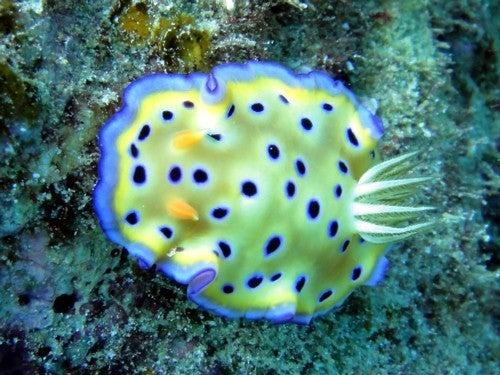 $奄美大島ダイビング魚ブログ-オトヒメウミウシ 奄美 ダイビング