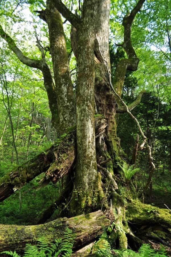 $白神山地ツアーの白神なびスタッフブログ-2012年5月上旬の白神山地「十二湖」の最新情報9