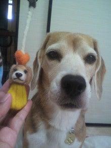我が家の犬 (^-^*) サブ・メロン・ピーチ (ビーグル)  in Ameba-P1001744.jpg