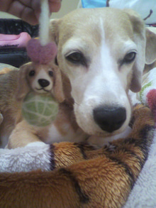 我が家の犬 (^-^*) サブ・メロン・ピーチ (ビーグル)  in Ameba-P1001757.jpg