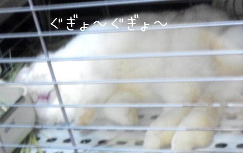 ふうとはんぺ~太の『のほほん日々』 ̄(=^ー^=) ̄♪【ホーランドロップイヤー】