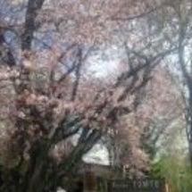トムテの桜