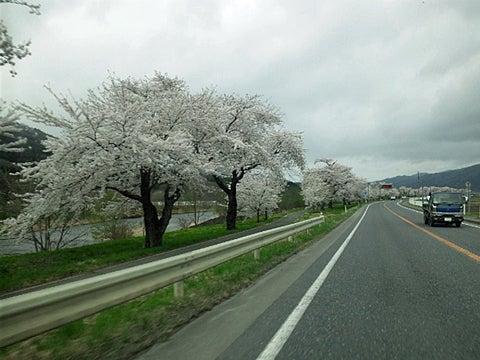 国道の桜並木