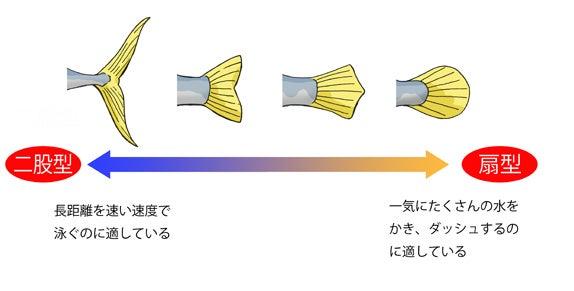 川崎悟司 オフィシャルブログ 古世界の住人 Powered by Ameba-魚の尾ビレのタイプ