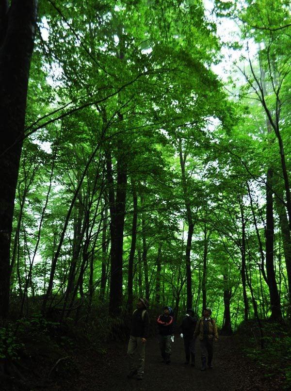 $白神山地ツアーの白神なびスタッフブログ-2012年5月中旬の白神山地「雨の十二湖」3