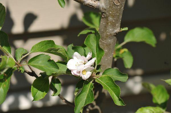 北海道の野生動植物写真-リンゴ