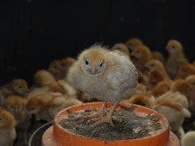 自然卵農場《森の農楽舎》ヒヨコのブログ