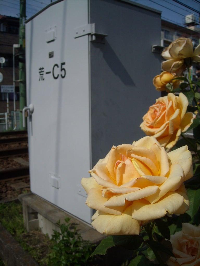 大塚のバラ