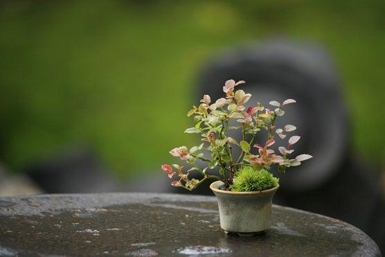 チョコレート盆々-展示に出した盆栽