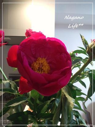 Nagano Life**-芍薬