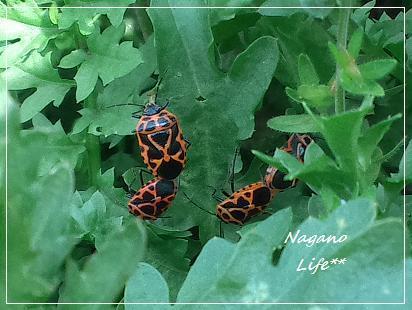 Nagano Life**-てんとう虫?