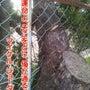ど根性松の木