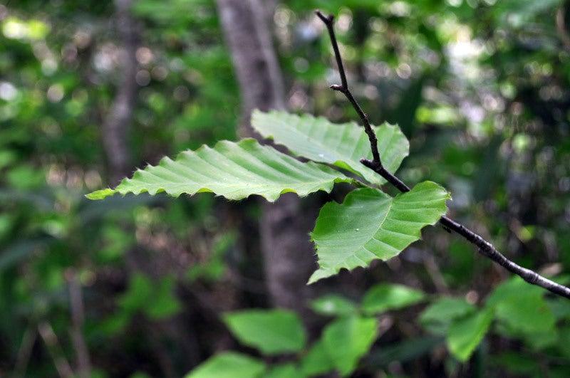 $白神山地ツアーの白神なびスタッフブログ-2012年6月上旬の白神山地・二ツ森4