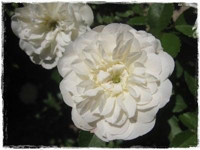 きょんのたわごと-白バラ