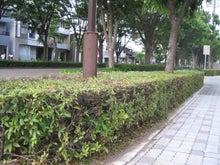 岐阜・本郷の並木通り-つつじ剪定後