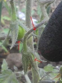 おっちゃんの畑2012、晴耕雨読。-ミニトマト膨らんできました