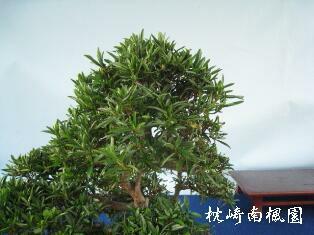 枕崎南楓園のさつき盆栽育て方-2011.6花後の剪定