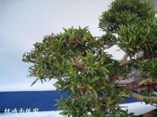 枕崎南楓園のさつき盆栽育て方-2012花後の剪定