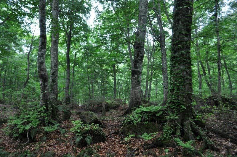 $白神山地ツアーの白神なびスタッフブログ-2012年6月上旬の白神山地・雨の岳岱4