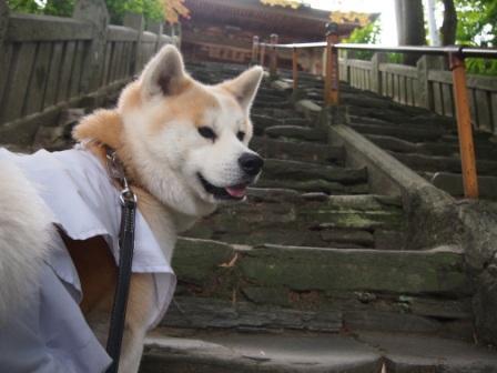 秋田犬カイの日常-三角寺2