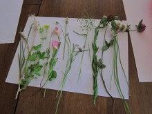 $のどかなブログ♪-採取してきた草花。