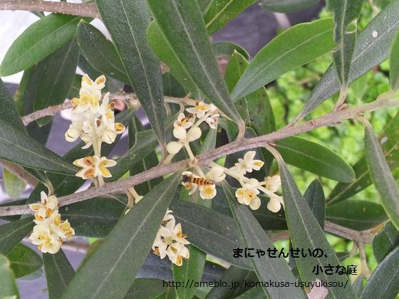 まにゃせんせいの、小さな庭-オリーブの花