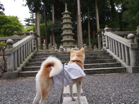 秋田犬カイの日常-雲辺寺11