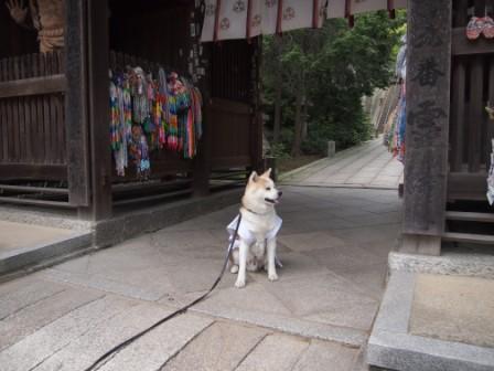 秋田犬カイの日常-神恵院3