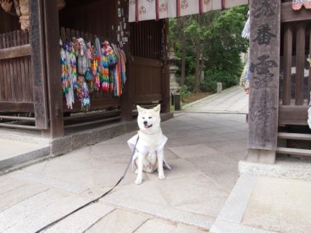 秋田犬カイの日常-神恵院4