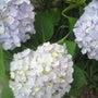 紫陽花の様な